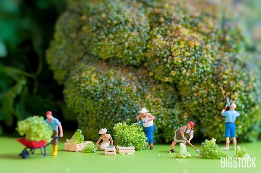 Broccoli farmers