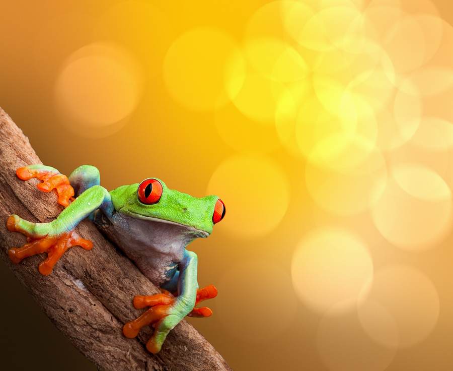 Image of red eyed tree frog on vibrant background