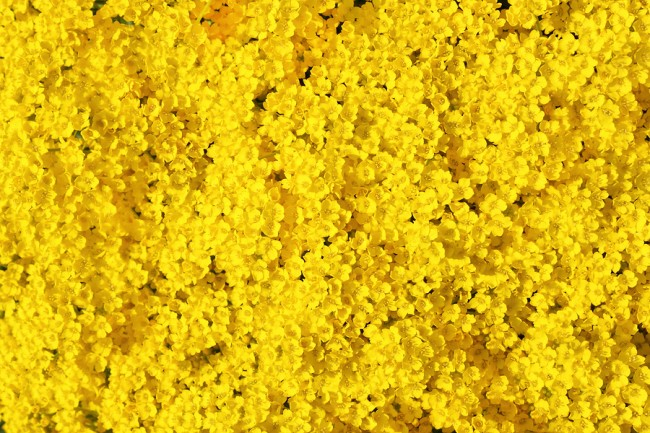 photo of real yellow flowers background
