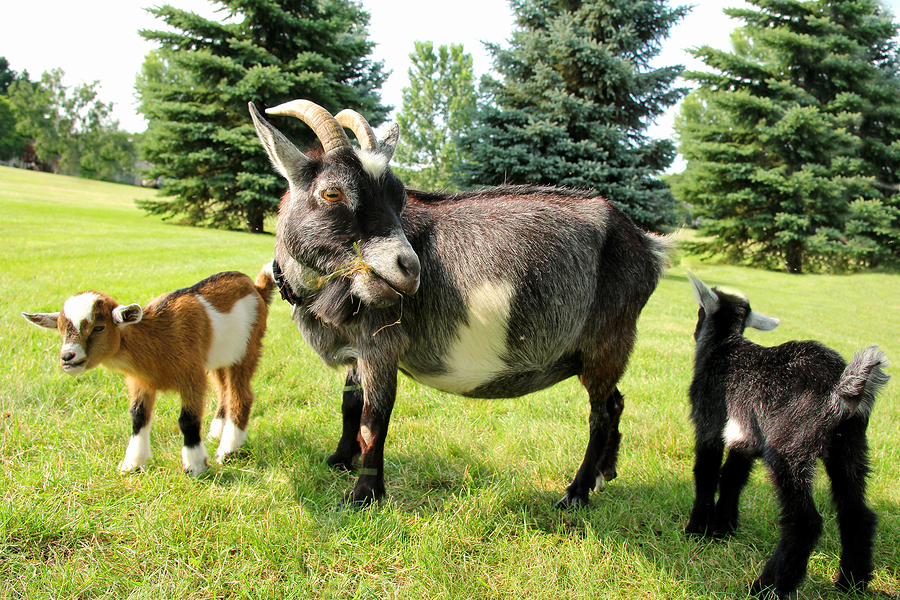 Mother goat and her baby goatsby Christin Lola