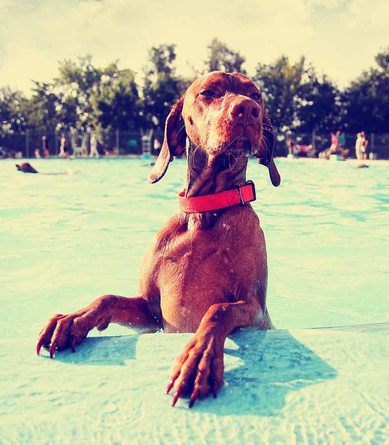 Dog at public pool  photo from  graphicphoto