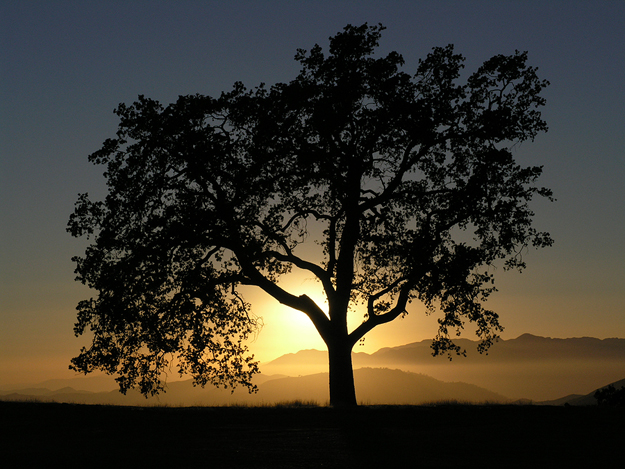 Oak Tree Against a Sunset