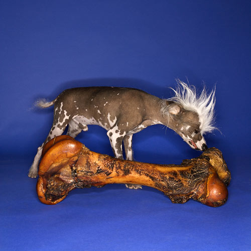 Stock Photo of Chinese Crested Dog Smelling A Bone