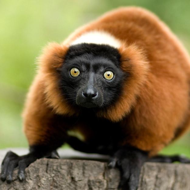 bigstock_Red_Ruffed_Lemur_2208945