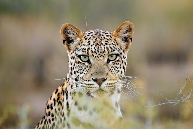 bigstock_Leopard_Portrait_3478904