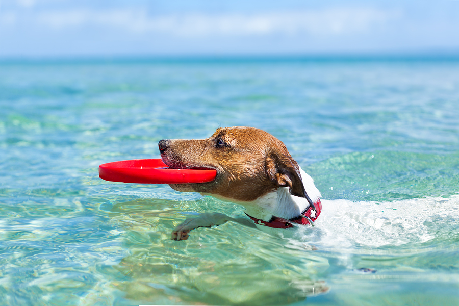 Stock photo of dog in pool with frisbee by Javier Brosch .