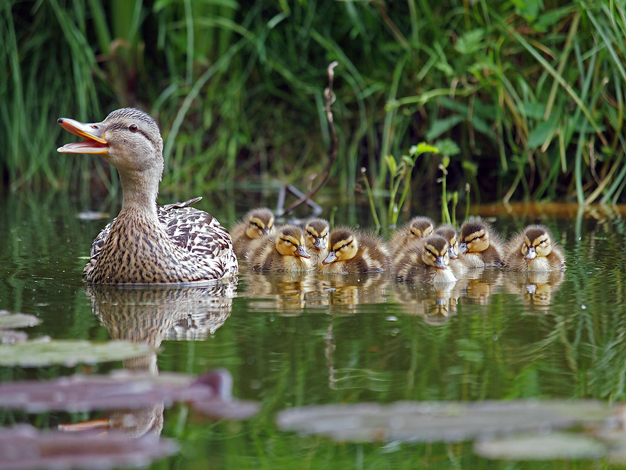 Mother duck and her baby ducksby Anolis