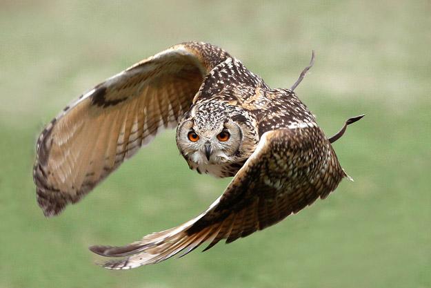 bigstock_Eagle_Owl_In_Flight_5497426