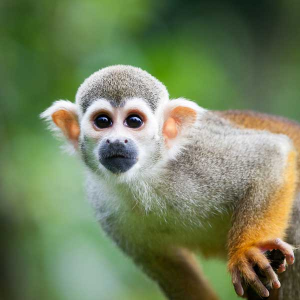 Bigstock's Favorites: Close-up of a Squirrel Monkey