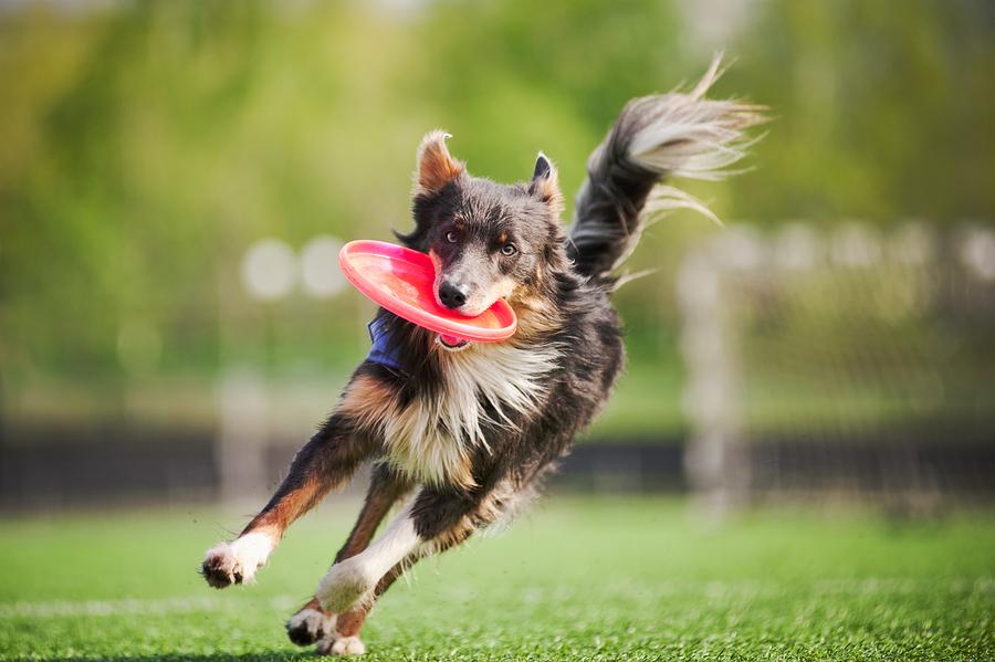 Stock photo of dog with frisbee by Ksuksa .