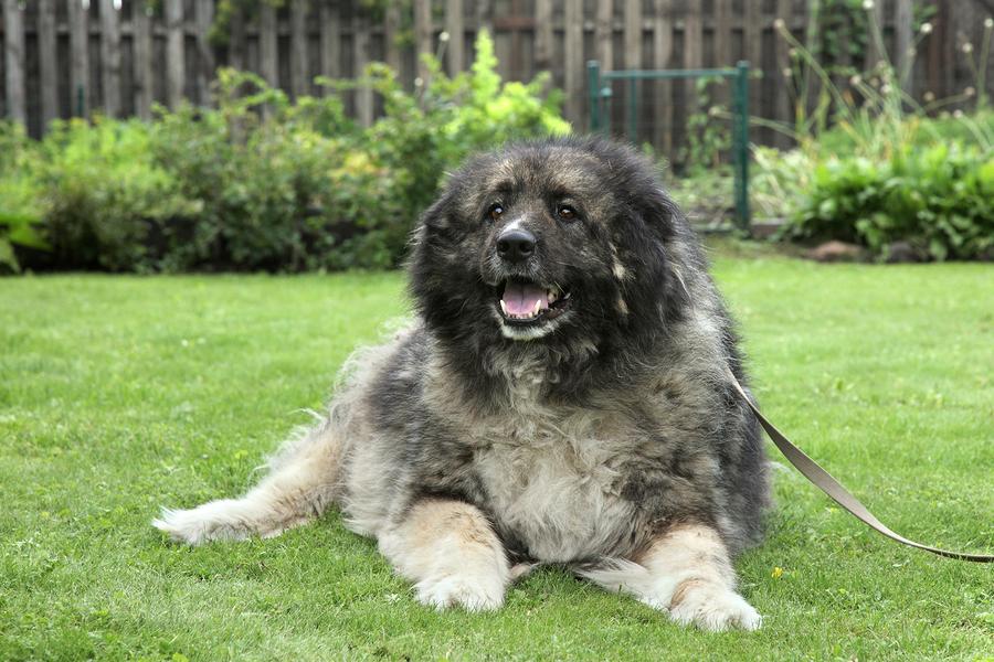 Caucasian Shepherd Dog by Jagodka