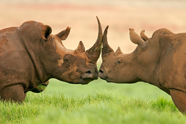 bigstock_White_Square-lipped_rhinocer_680093