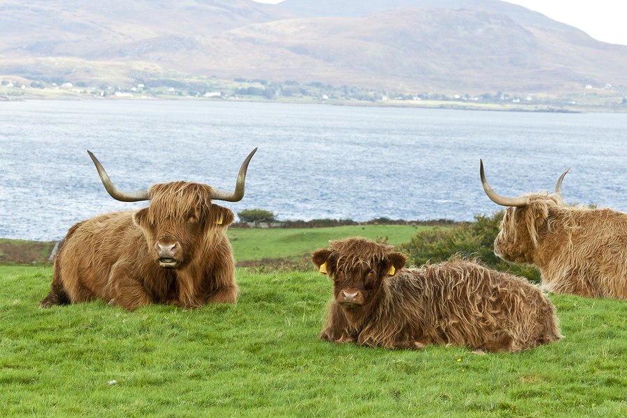 Highland cattle mother and calf by Chrismp