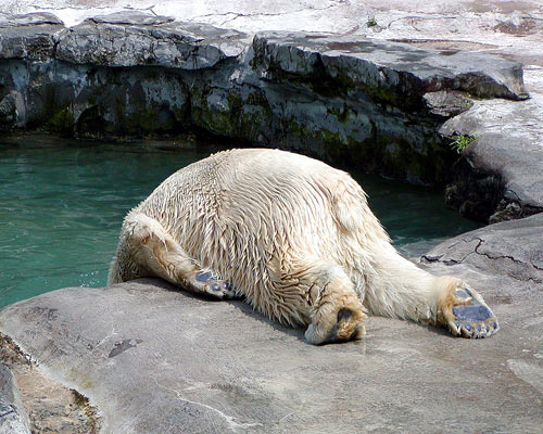Stock Photo of a Drunken Polar Bear