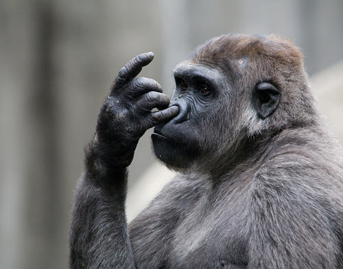 Stock Photo of a Gorilla Picking Its Nose