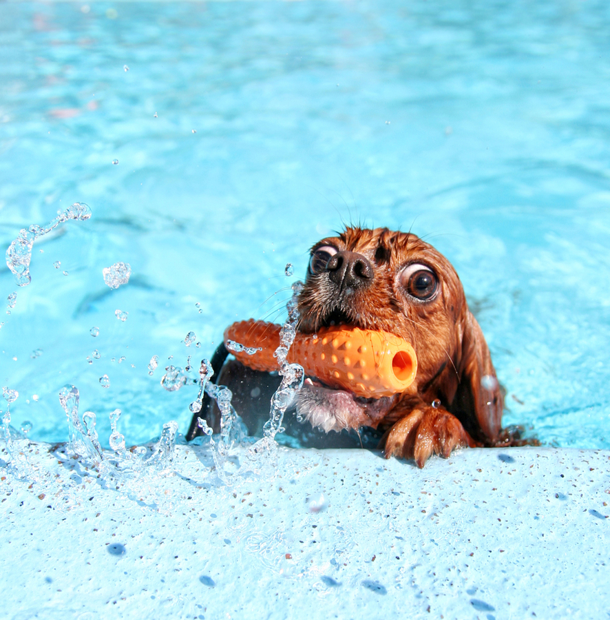 Stock photo of dog in swimming pool by graphicphoto .