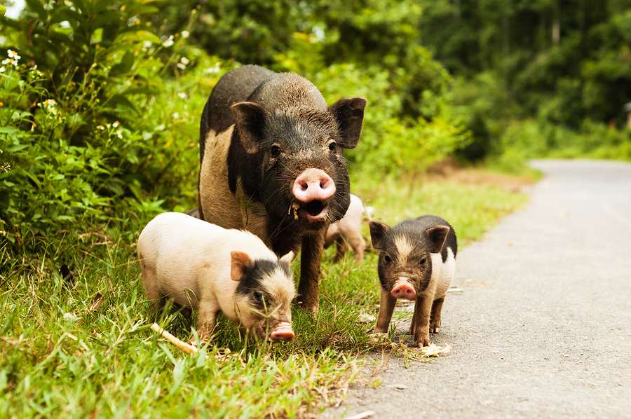 Mother pig and baby pigs by elecstasy